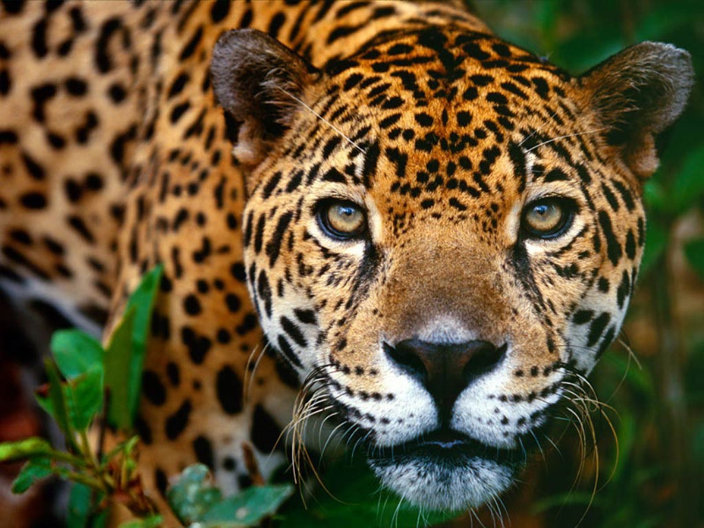 Jaguar Photos