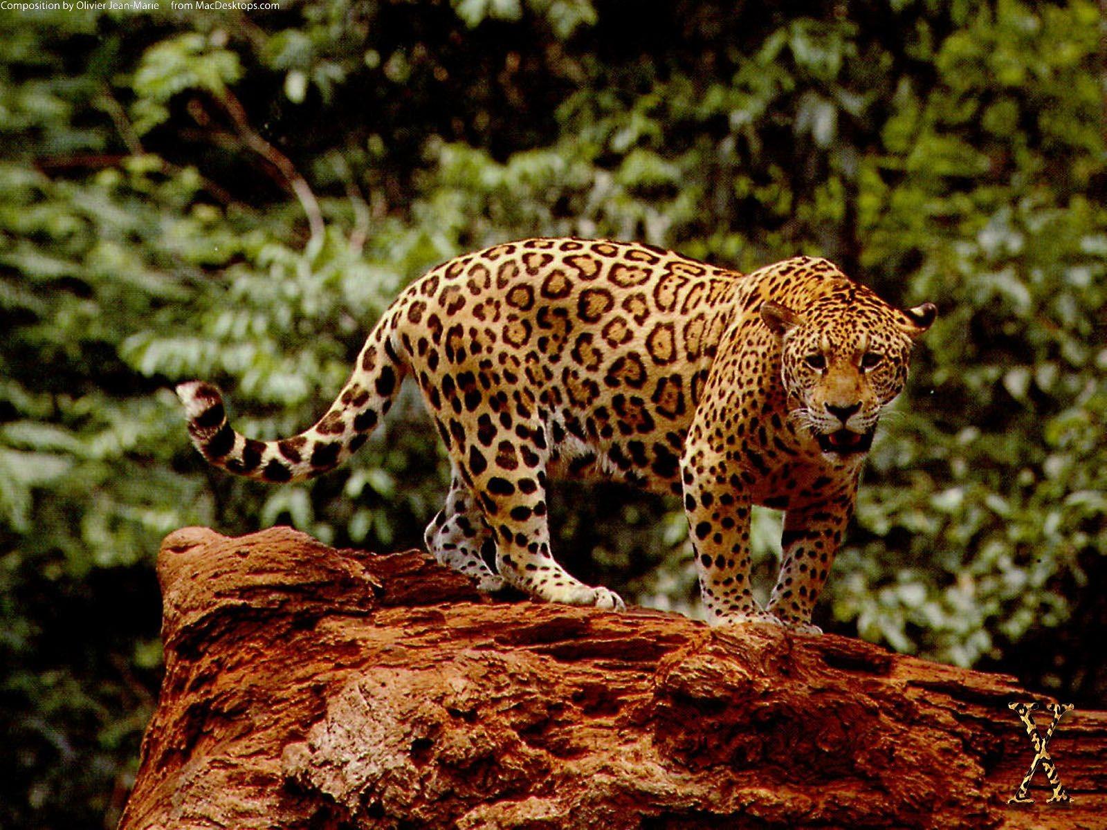 Jaguar Pics