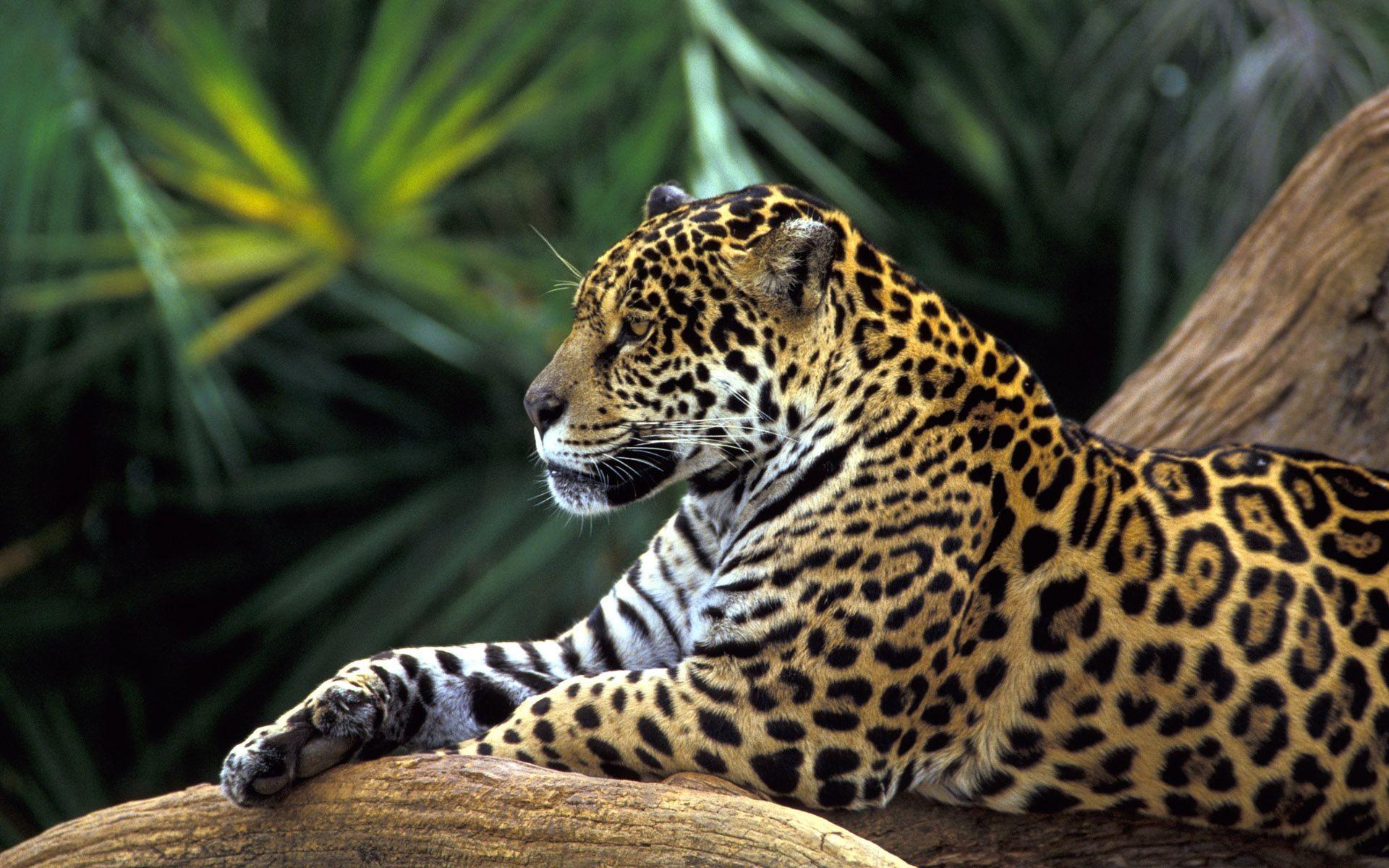 Jaguar Screensaver