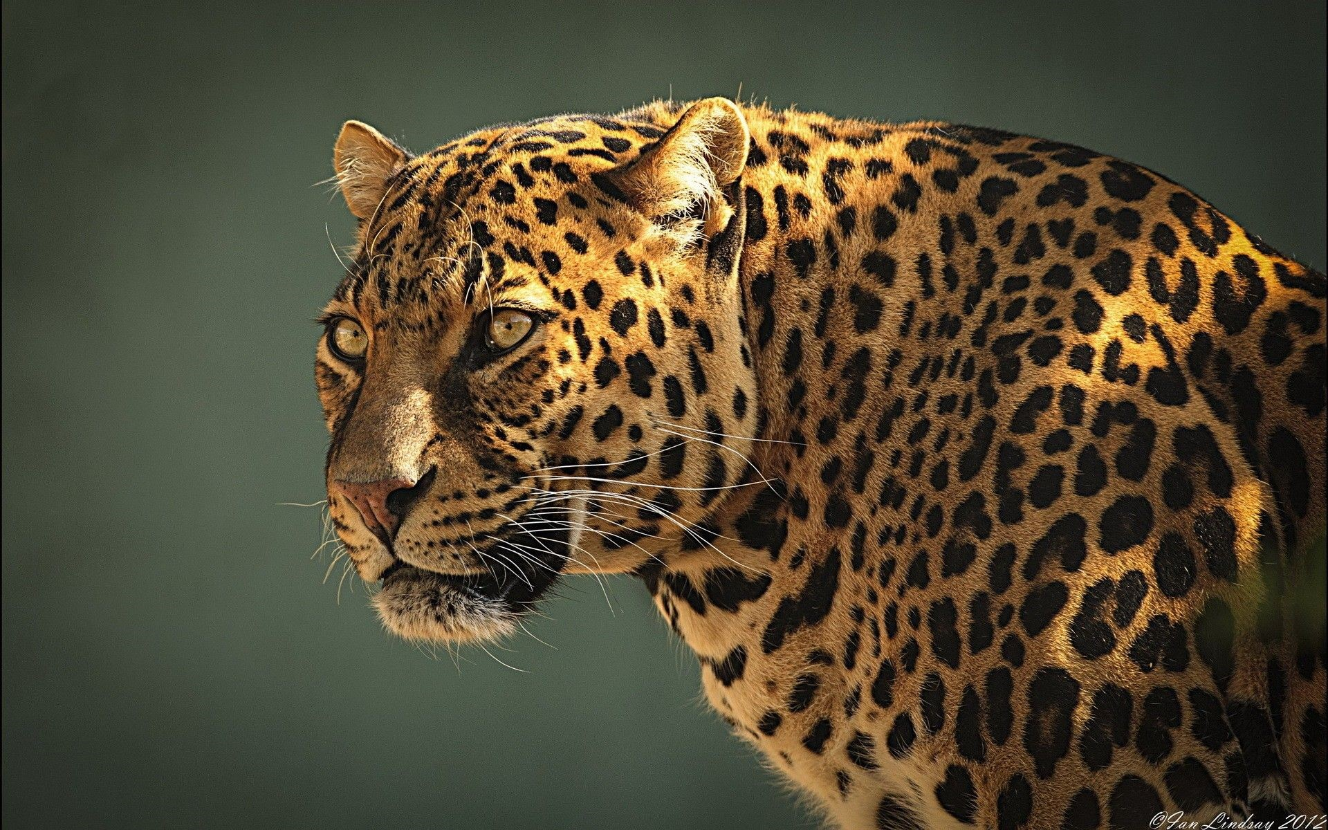 Jaguar Windows Background
