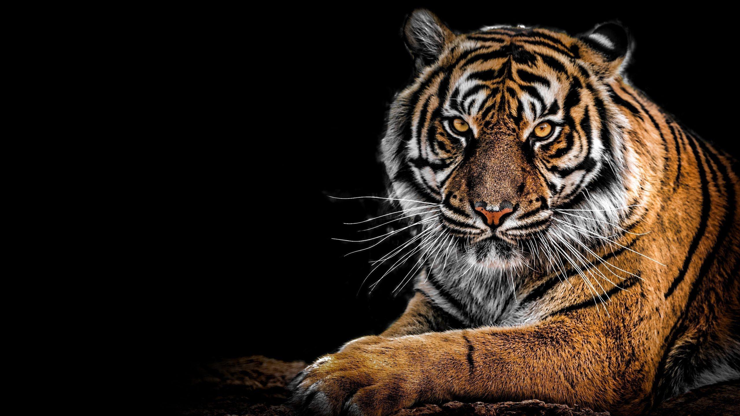4K Tiger Wallpaper scaled