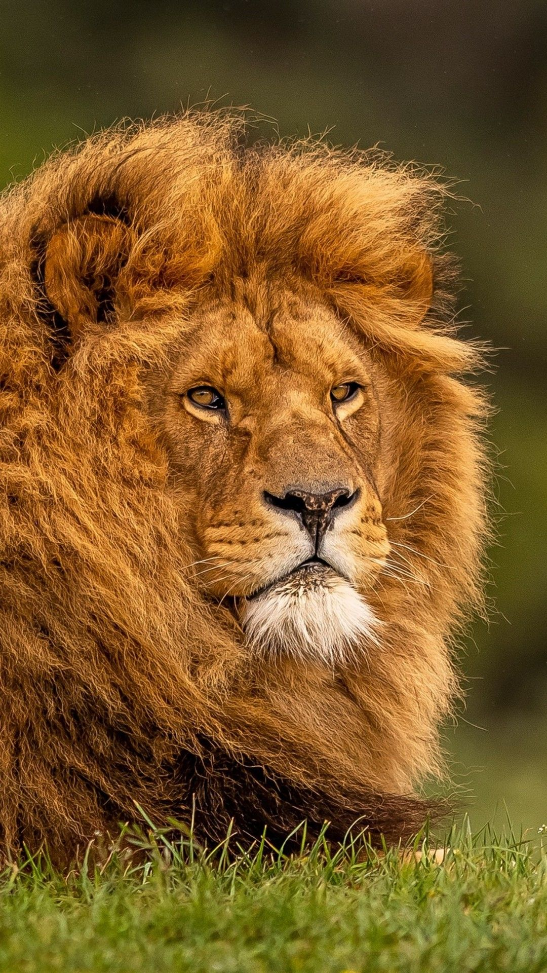 Lion HD Mobile Wallpaper
