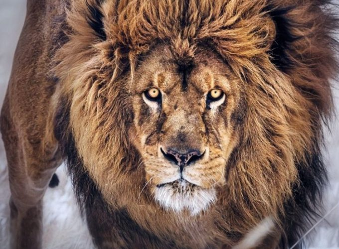 Lion King HD Wallpaper