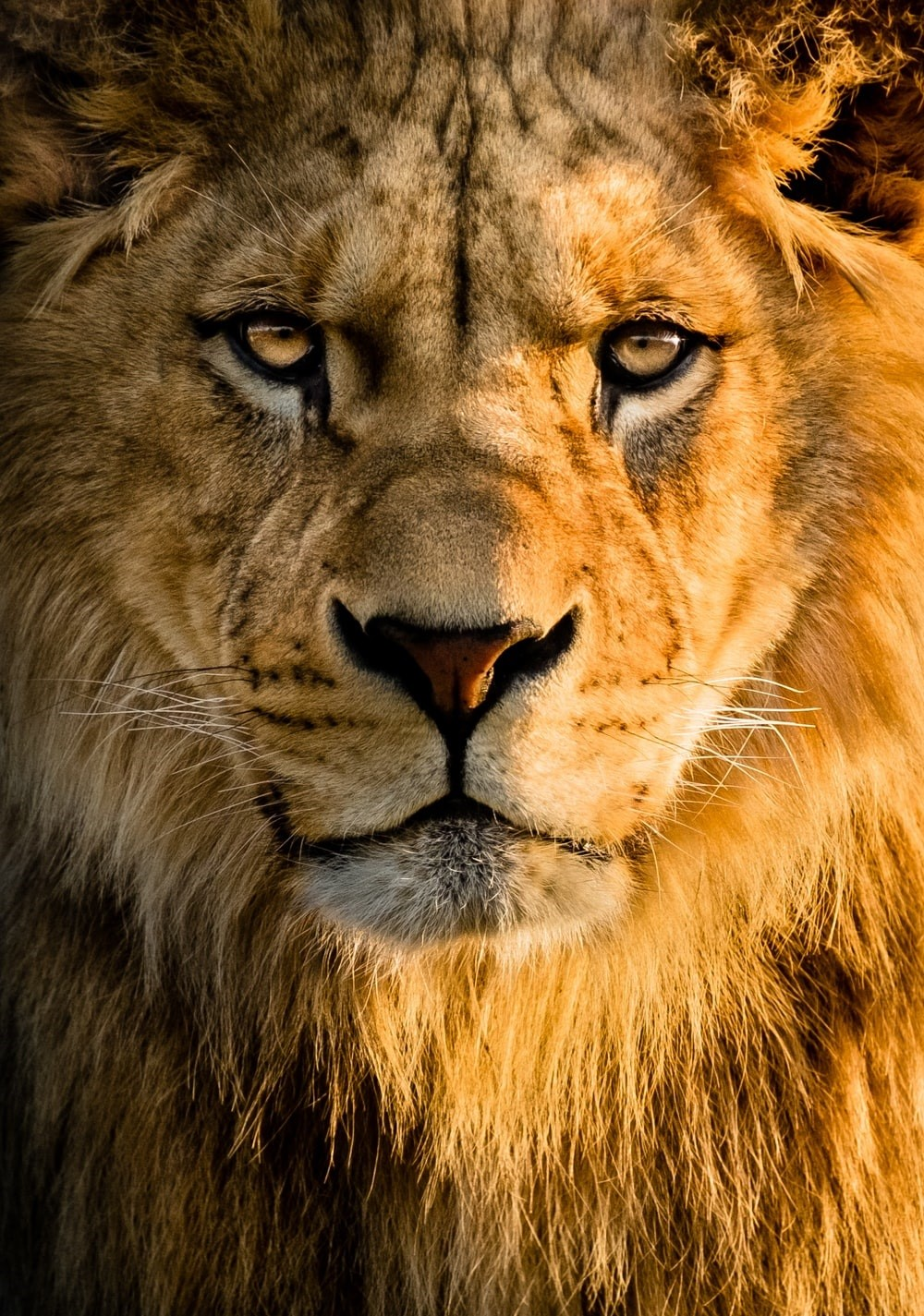 Lion face Wallpapers