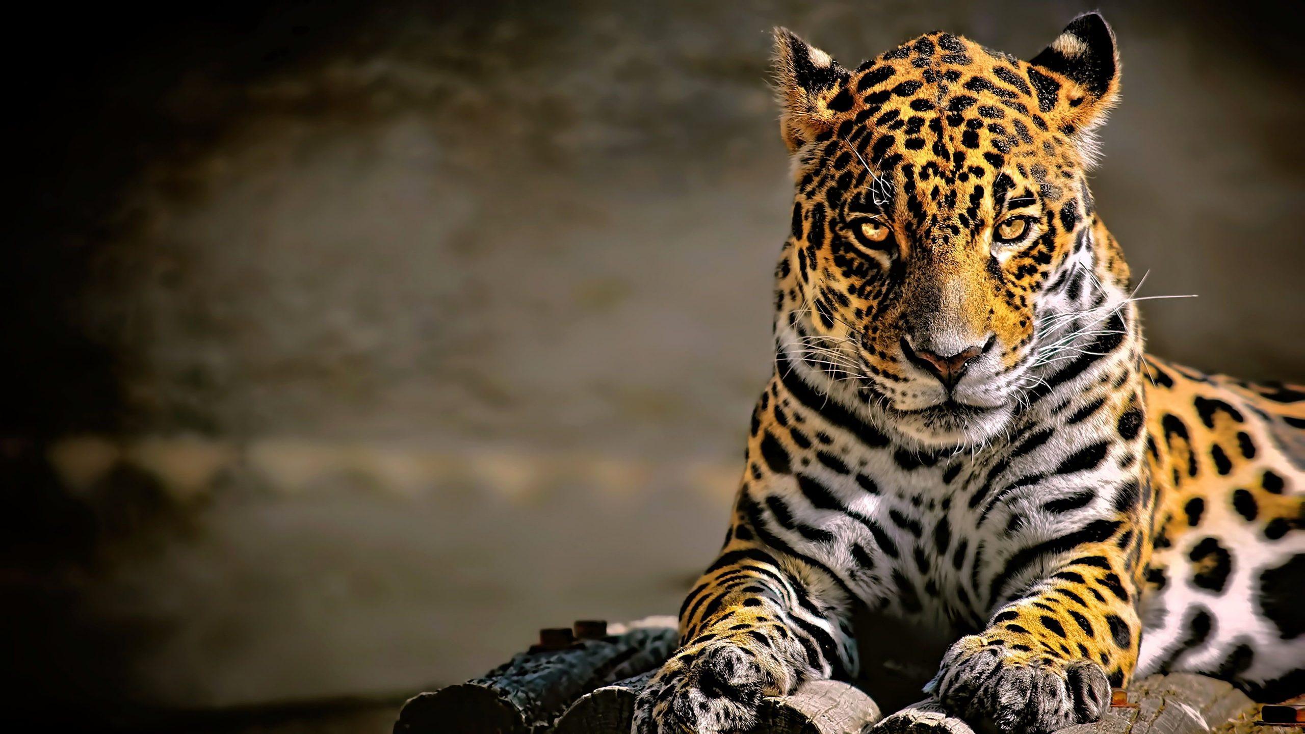 4K Leopard Desktop Wallpaper