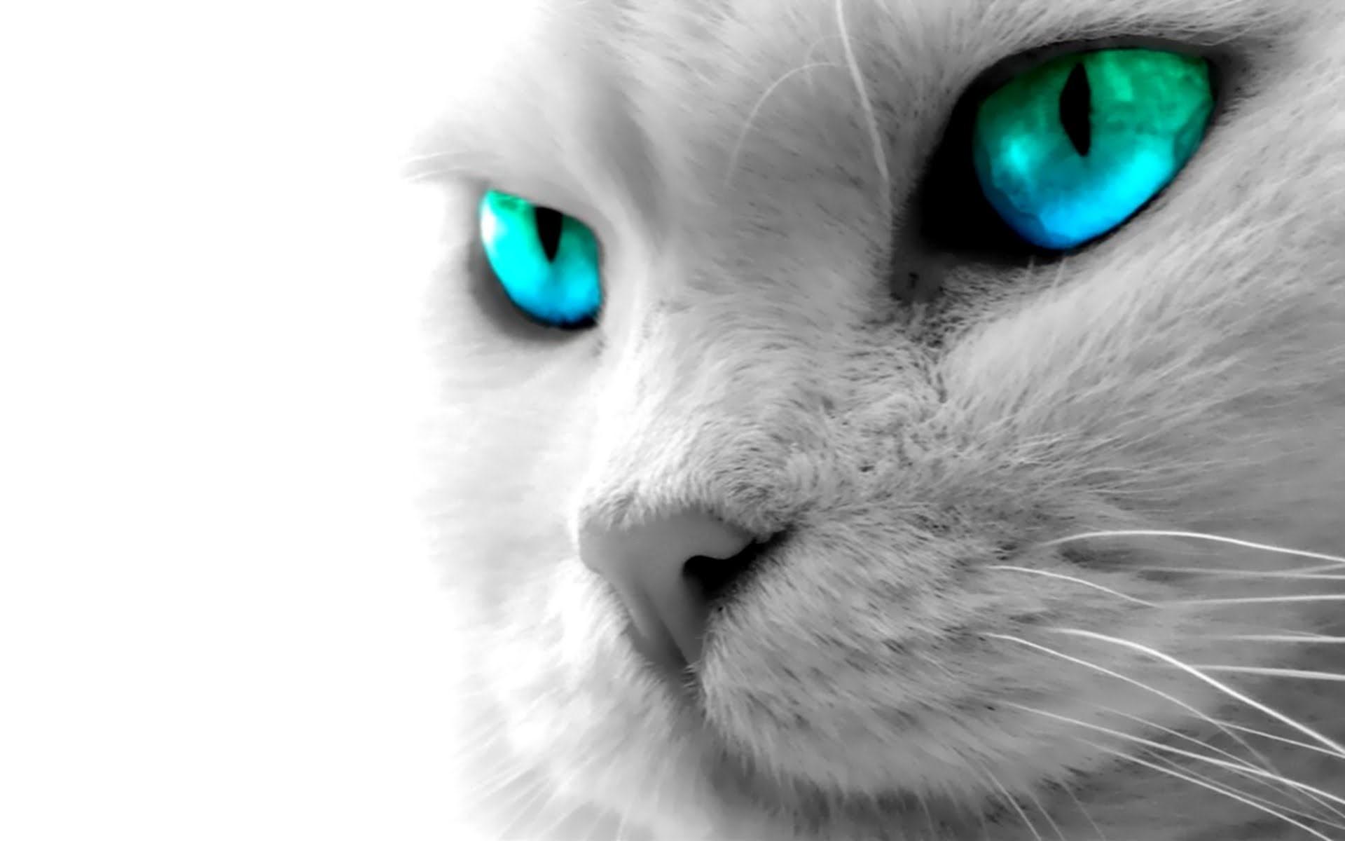 Blue Eyes White Cat Wallpaper 4K Animals