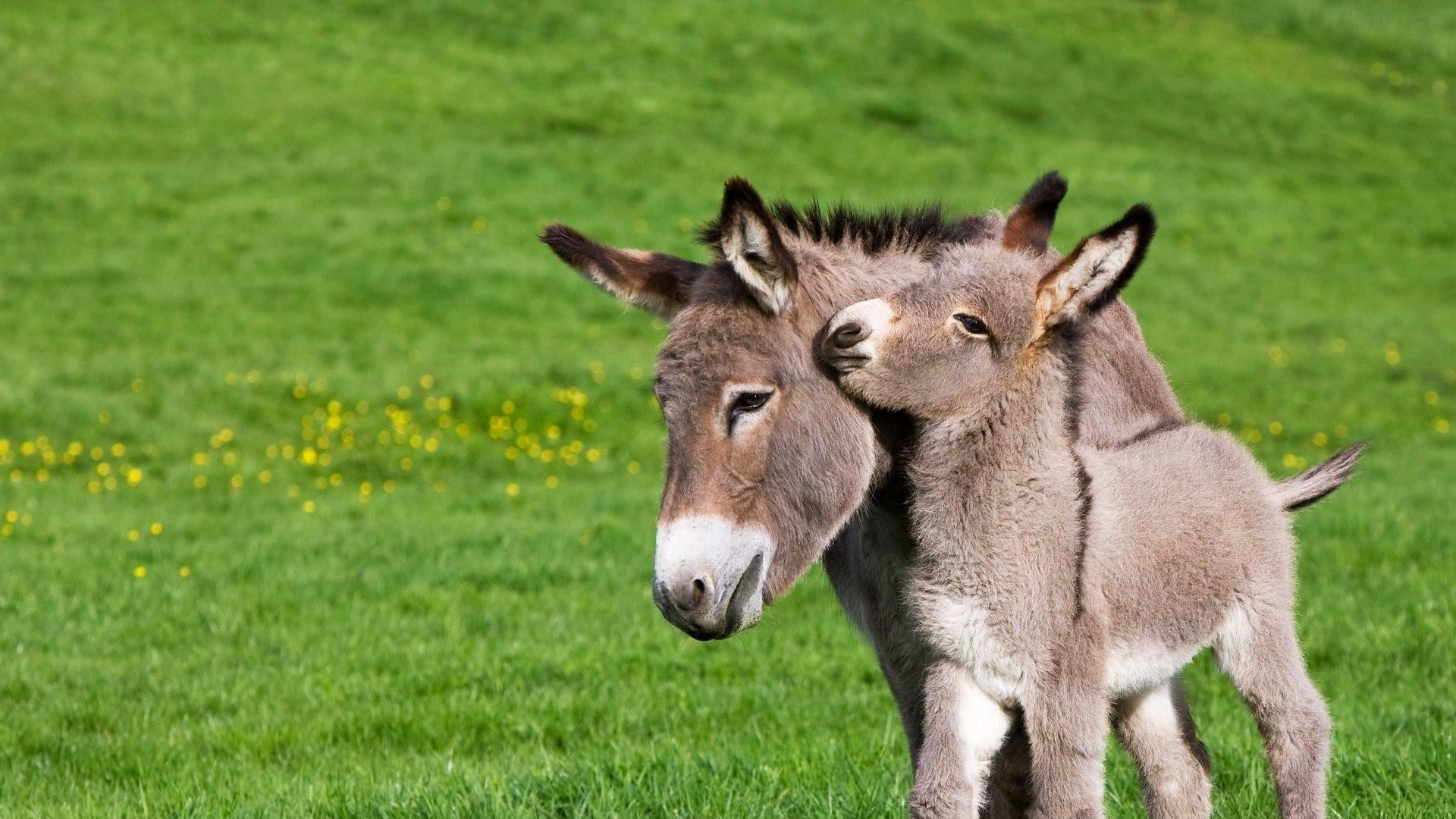 Donkey Family Wallpaper