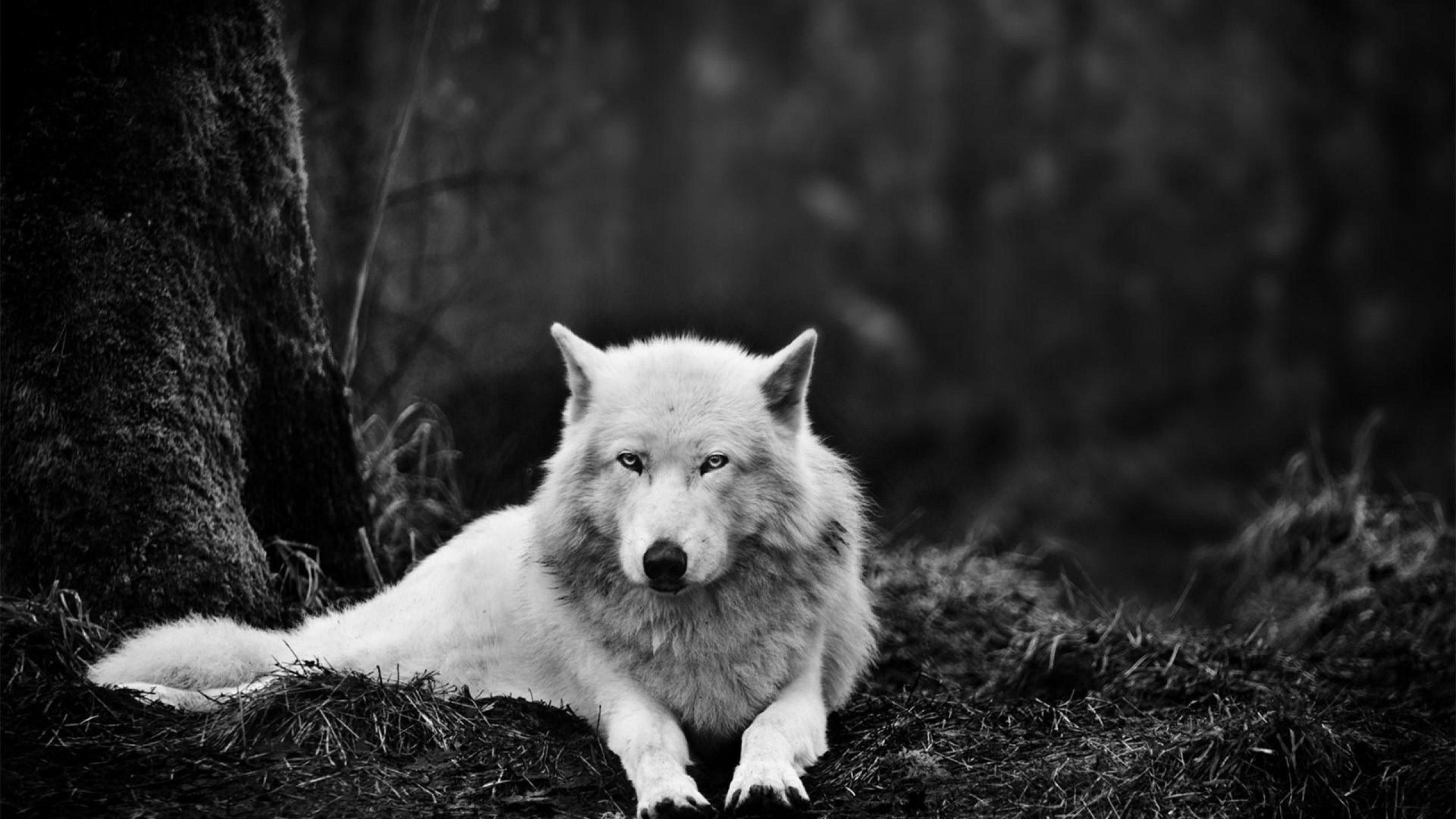 White Wolf 4K Wallpaper